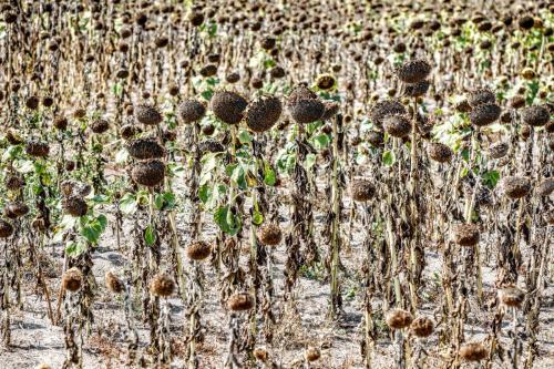Vertrocknete Sonnenblumen, Brandenburg, 2018
